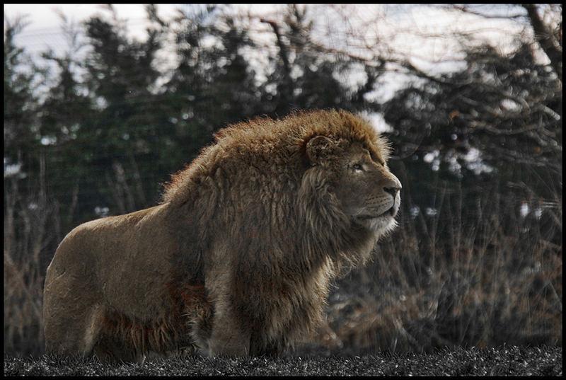 LionZion