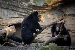 Lippenbären beim toben (spielen)