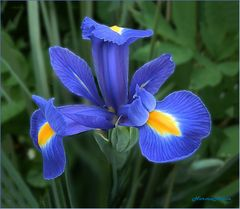 Lirio  Blau
