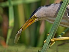 litle bittern with tadpole