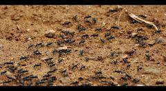 litle dangerous Ameisen...