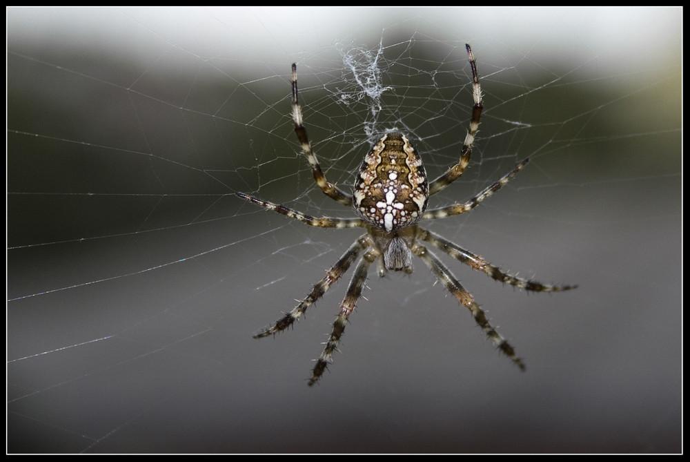 littel spider