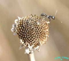 Little ant on dry flower