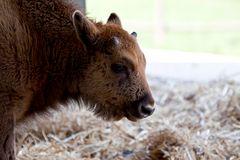 - little bison -