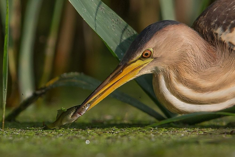 little bittern, female with fish