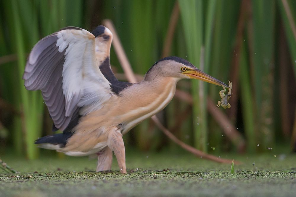 little bittern, male with frog