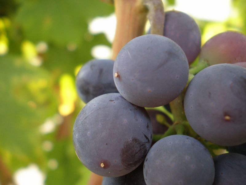 little detail of grapes