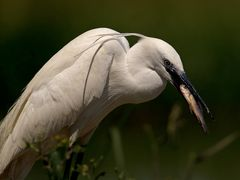 Little Egret at breakfast