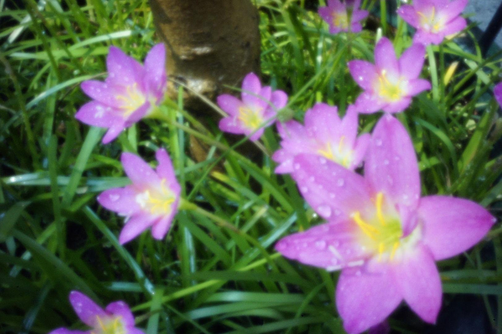 Little Flowers - Skink Pinhole Pancake