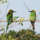 Little Green Bee-Eater auf Sri Lanka