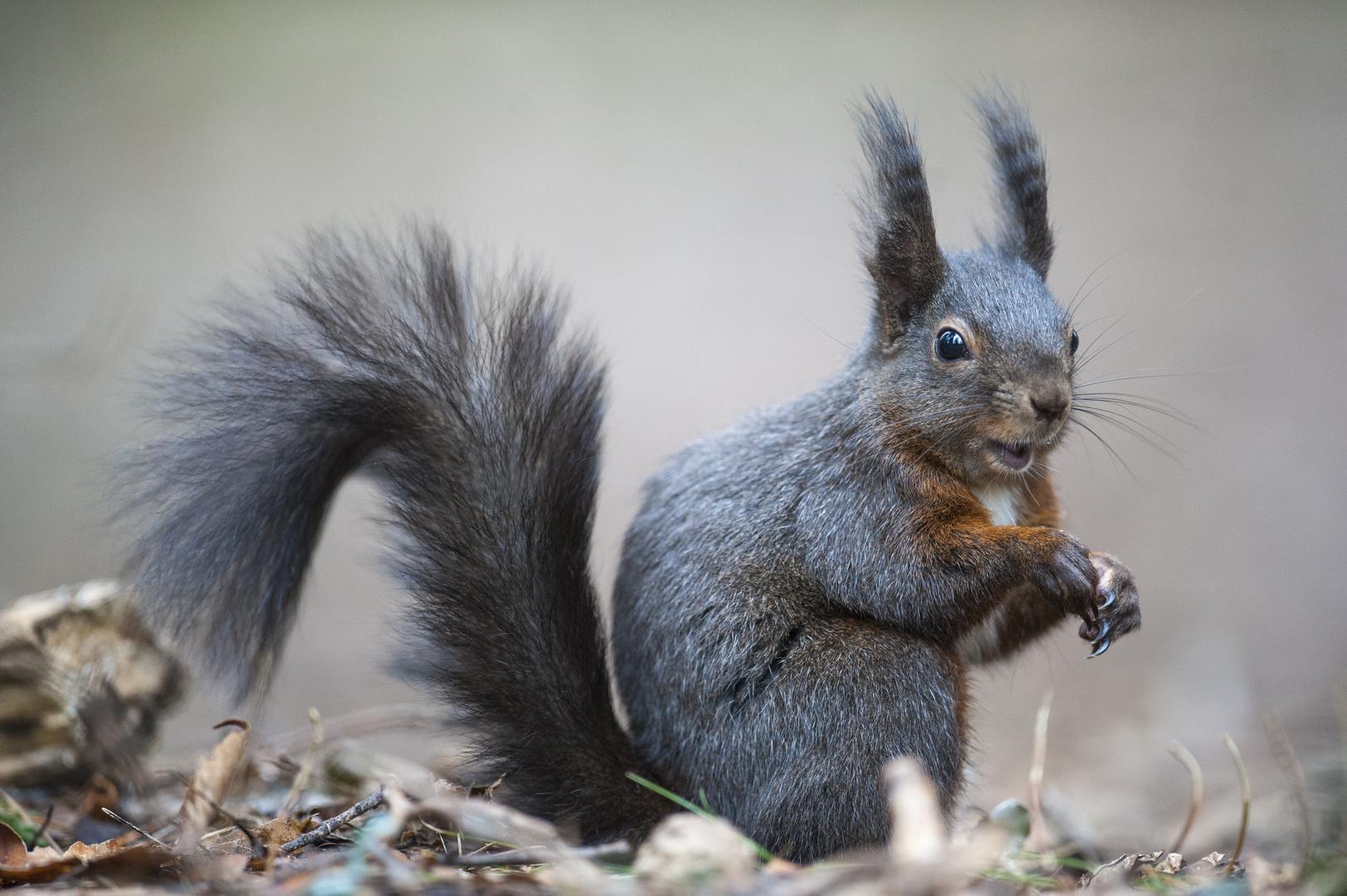 Little Nutdropper