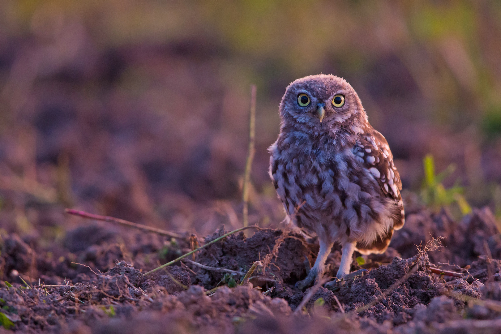 Little owl at late sun set