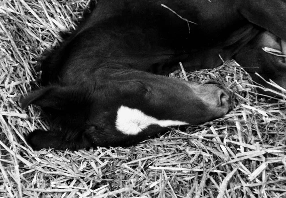 little stallion sleeping