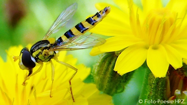 Little wasp on yellow flower ...