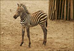 Little Zebra