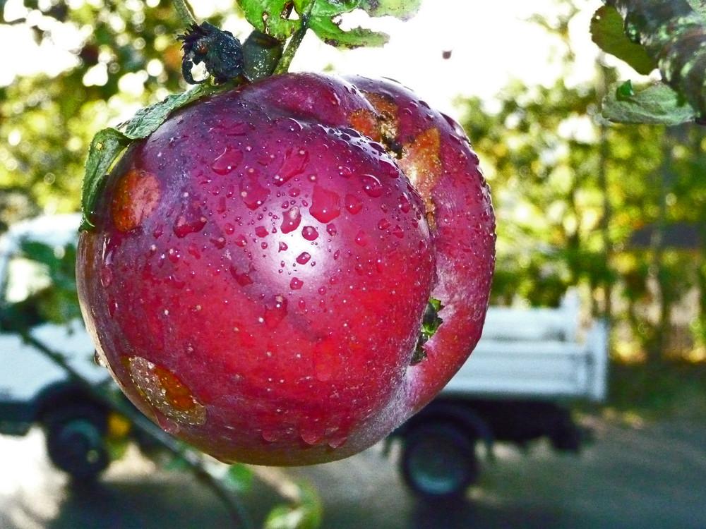 Livreur de pommes