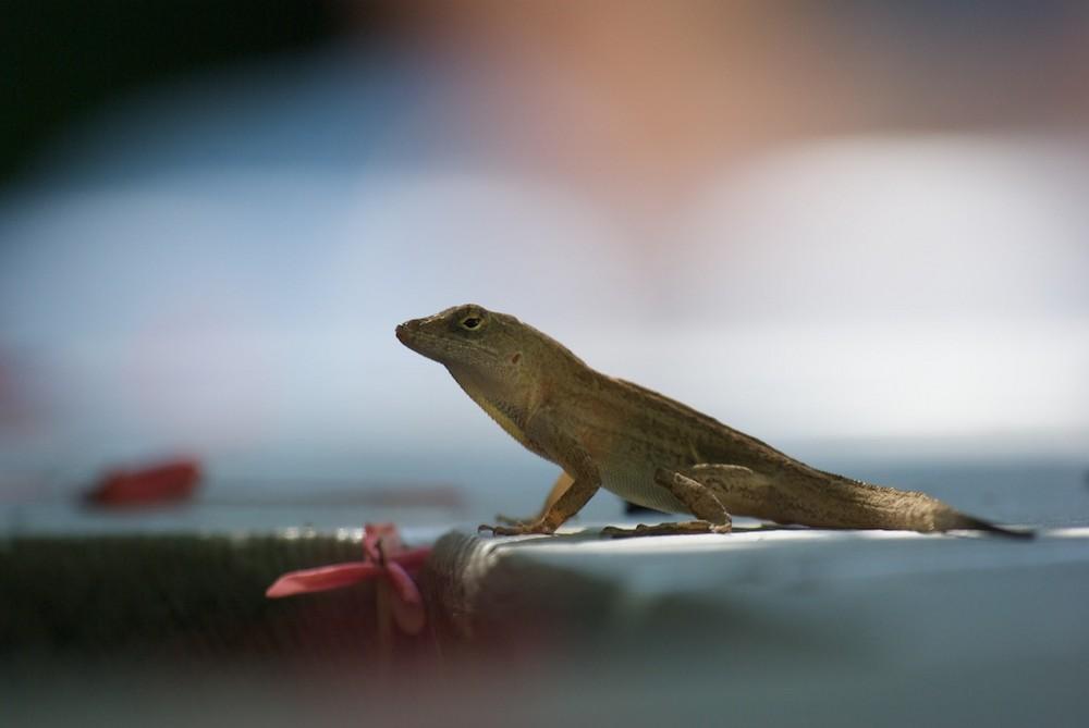 Lizard auf Key West