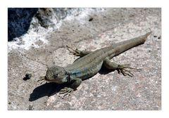 Lizard - Eidechse
