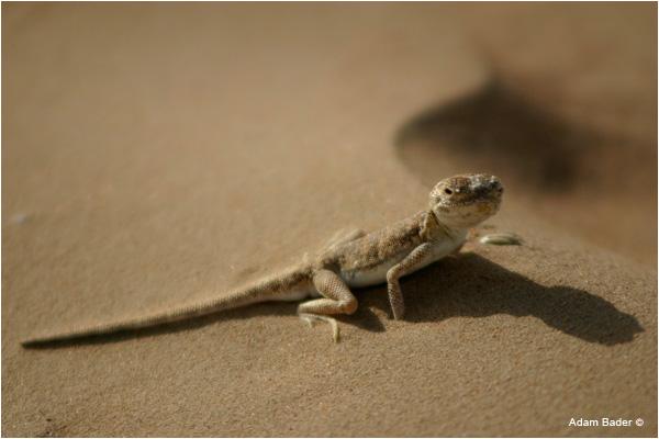 Lizard in a desert