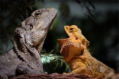 lizard talk