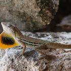 lizard with flag