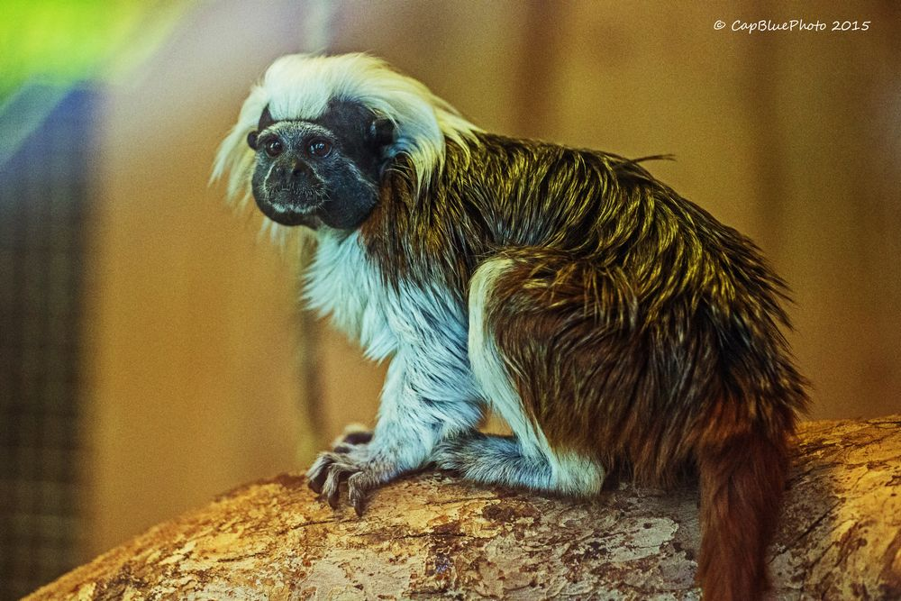 Liztäffchen (Primatenart der Krallenaffen)
