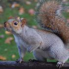 Lo scoiattolino di St. James Park