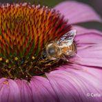 Lo spuntino di un'ape
