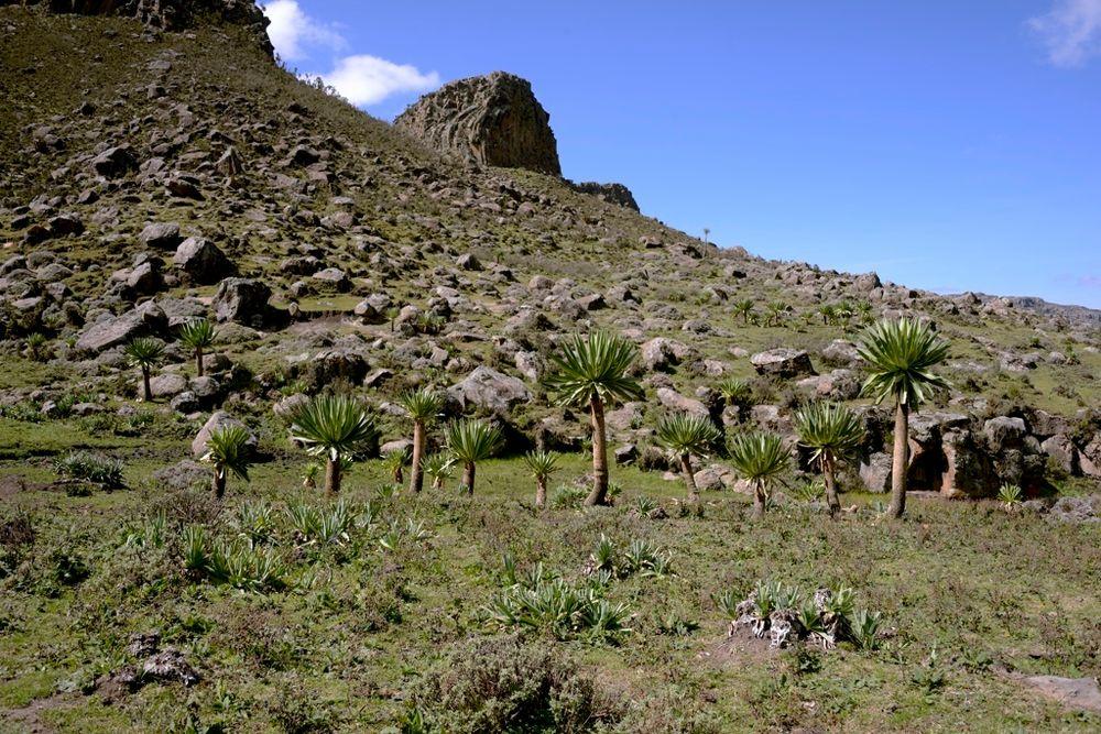 Lobelias gigantes de Etiopía