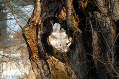 Loch im Baum - Baum mit Loch