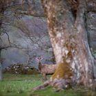 Loch Tay Stag (Loch Tay Hirsch)
