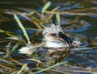 Lockenkopf-Frosch