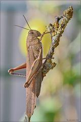Locusta comune