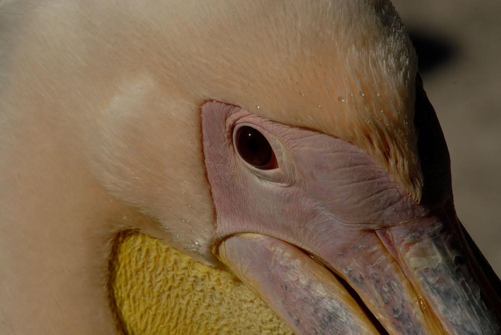 L'oeil du pélican