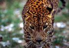 loepard / gepard
