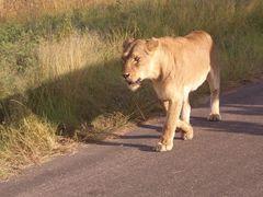 Löwe (1) Krüger Nationalpark