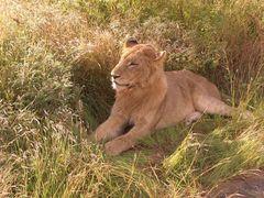 Löwe (2) Krüger Nationalpark