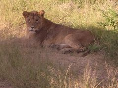 Löwe (3) Krüger Nationalpark