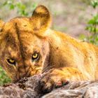Löwe am Giraffenkill