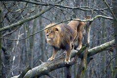 Löwe auf dem Absprung