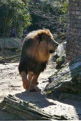 Löwe - bei der Kälte ist sein Atem zu sehen