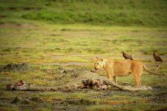 Löwe beim Fressen (Giraffe)