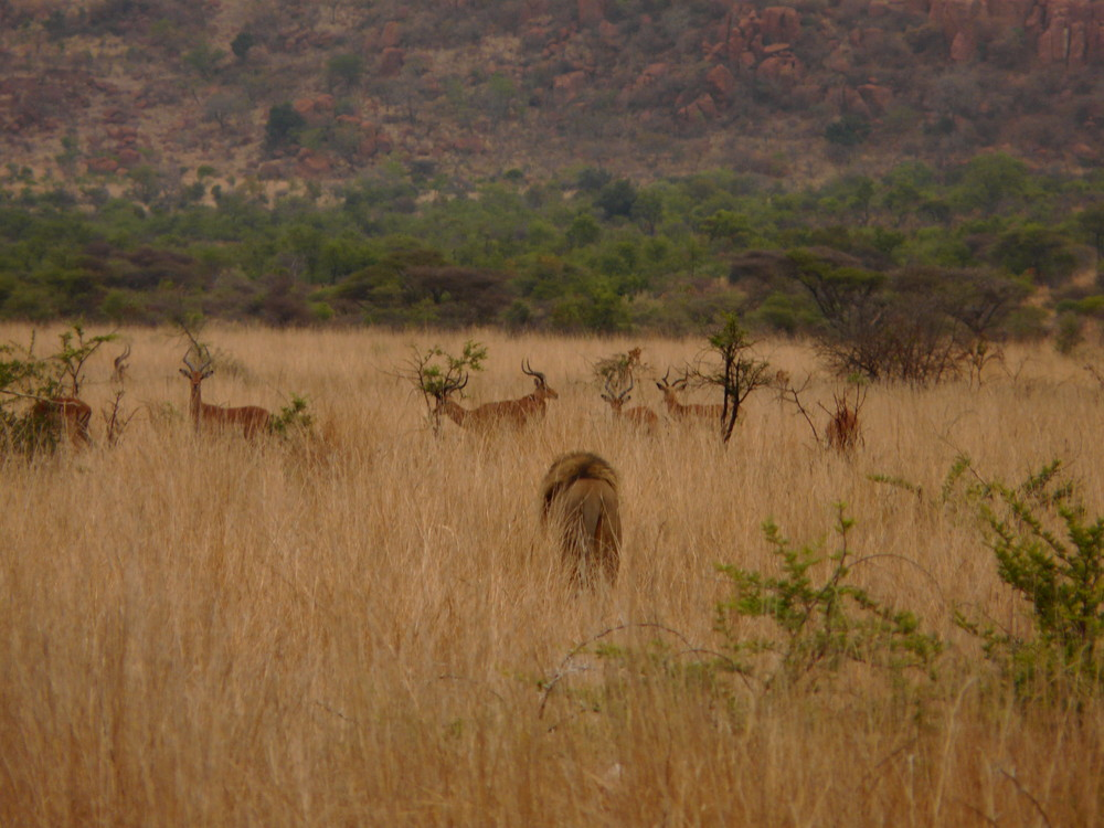 Löwe beim Morgenspaziergang