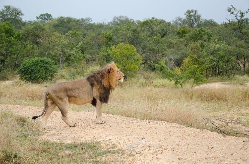 Löwe beobachtet Rivalen