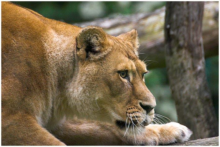 Löwe - erneut bearbeitet