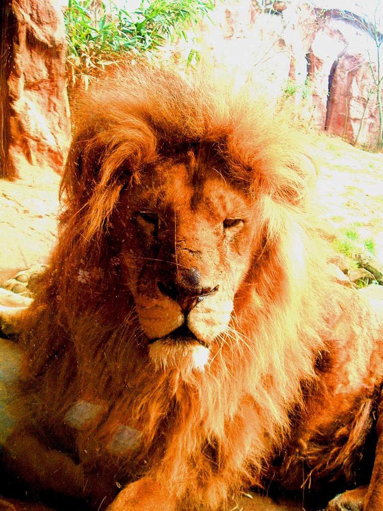 Löwe ganz nah