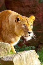 Löwe genießt die letzten Sonnenstrahlen