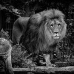 Löwe im Dortmunder Zoo