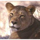 Löwe im Kalahari Gemsbok National Park