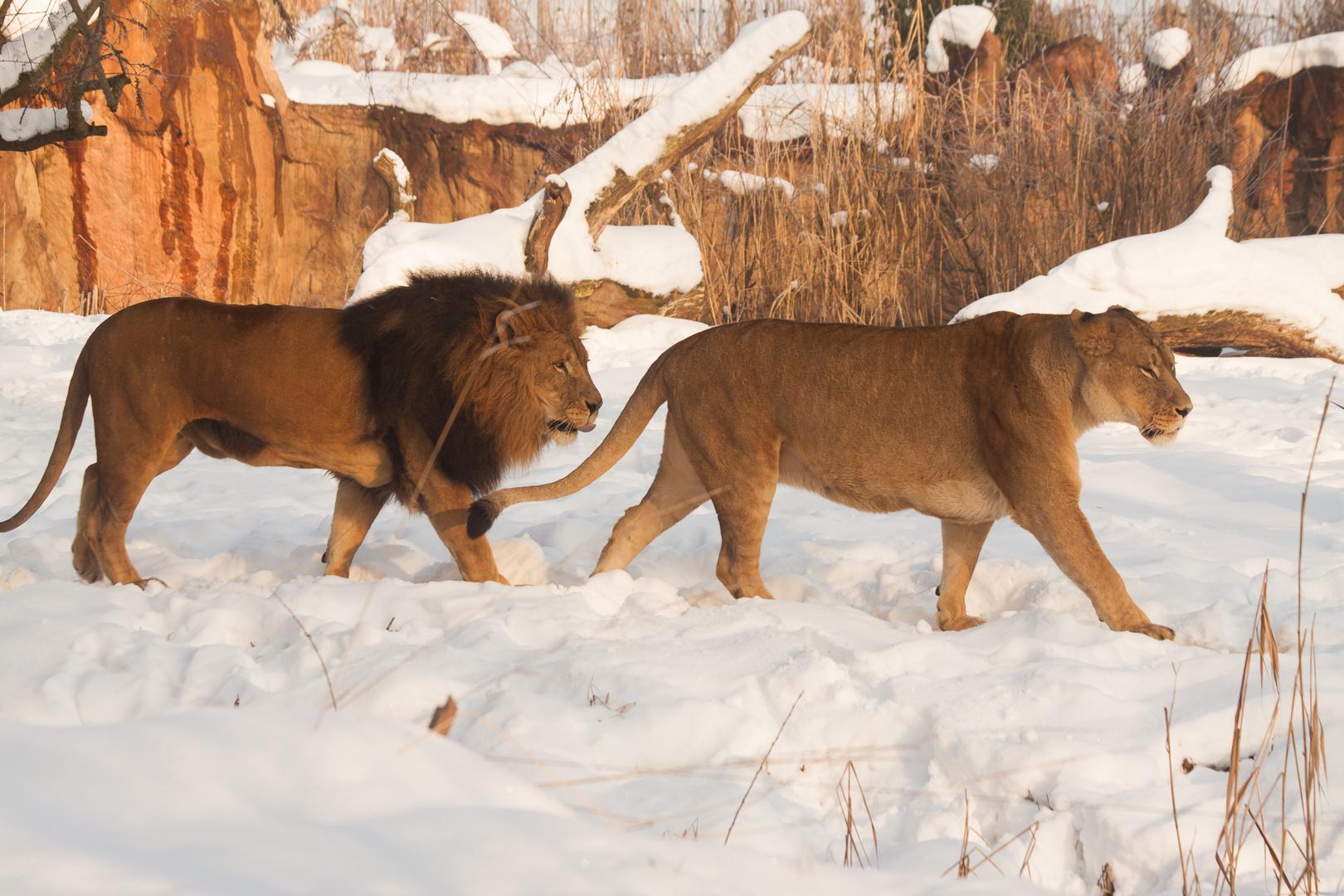 Löwe im Schnee